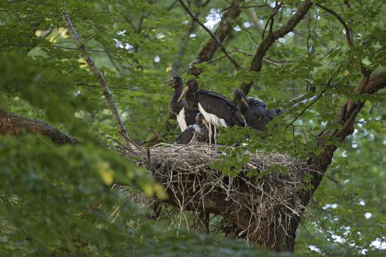 grown-up siblings... Black Storks  *Ciconia nigra*