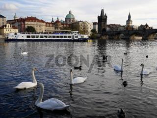 Blick auf Prager Altstadt mit den berühmten Moldau-Schwänen