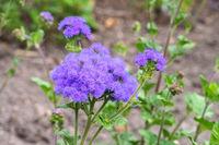 Gewöhnlicher Leberbalsam, Ageratum houstonianum - flossflower, Ageratum houstonianum a blue wildflower