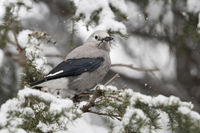 in snow covered woods... Clark's nutcracker *Nucifraga columbiana*