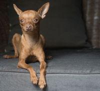Cute mini pinscher dog