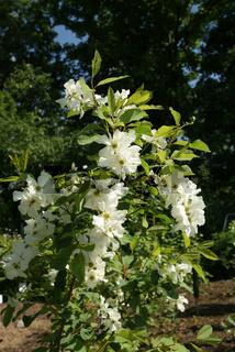 Exochorda racemosa, Traubige Radspiere, pearlbush