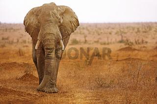 Großer Elefant im Kruger Nationalpark Südafrika; huge african elephant south africa, wildlife