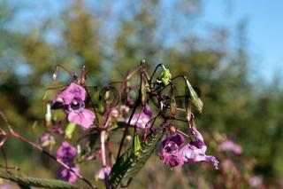 Drüsiges Springkraut, Himalayan Balsam, Impatiens glandulifera