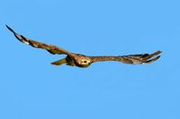 steppe eagle flying