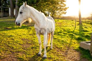 Portrait of a White Arabian Horse