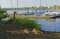 Gray geese family, Outer Alster, Hamburg, Germany, Europe
