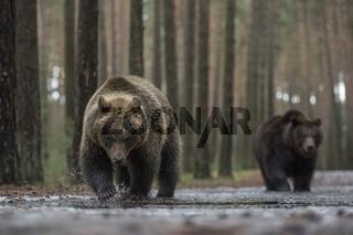 Farbvarianten... Europäische Braunbären *Ursus arctos*