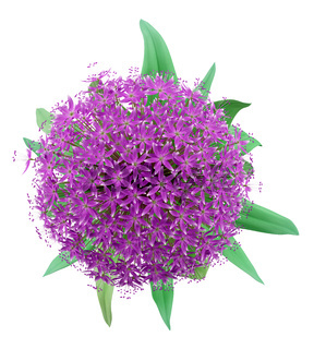 top view of allium flower isolated on white background