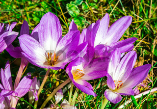 autumn flowers Colchicum