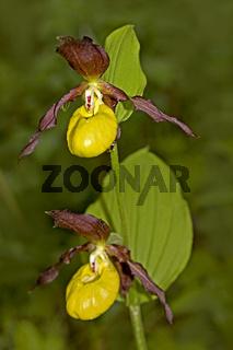 Gelber Frauenschuh  Cypripedium calceolus