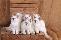 SACRED CAT OF BIRMA, BIRMAN CAT, KITTEN, LITTER, BLUEPOINT, SEALPOINT,