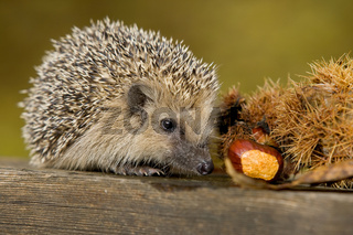 Igel Kastanie, hedgehog chestnut