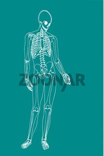 männliches Skelett/ eps Vektor