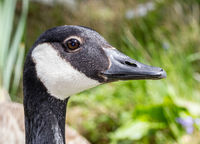 Close up profile head shot of a Canada Goose against a nature grass background