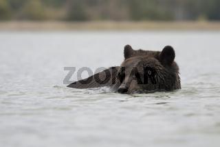schwimmender Bär... Europäischer Braunbär *Ursus arctos*