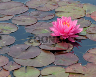 Hot Pink Water Lily Blooming In Pond
