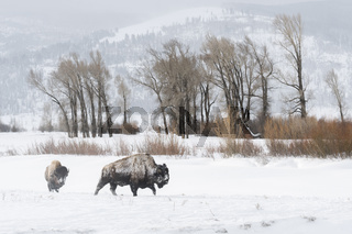 im weiten Tal... Amerikanischer Bison *Bison bison*