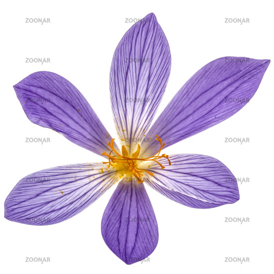 Violet flower of Colchicum close-up, isolated on white background