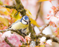 Blue tit in a flowering cherry tree