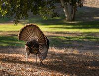 Rear view of wild turkey strutting in sunshine