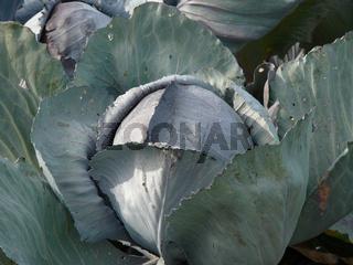 Brassica oleracea, Rotkohl, blue cabbage