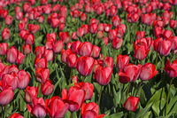 Field of pink tulips for the production of flower bulbs, Noordwijkerhout, Netherlands