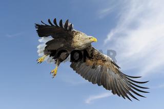 gewaltig... Seeadler *Haliaeetus albicilla*