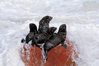 Young South African fur seals, cape cross