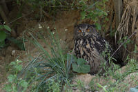 bright orange eyes hidden under bushes... Eurasian Eagle Owl *Bubo bubo*