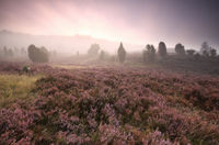dramatic foggy sunrise over heather flowers