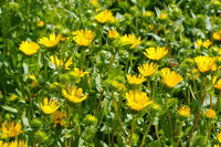 die Heilpflanze Grindelie, Grindelia robusta - the herbal plant gumweed, Grindelia robusta