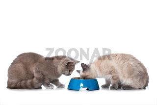 Katzen mit Futternapf