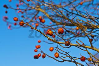 Apfeldorn