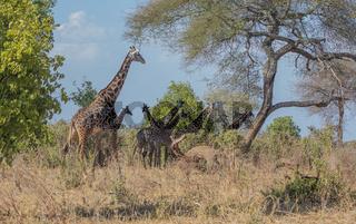 Giraffenherde  im Tarangire  Nationalpark