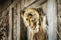 Animal skull with horns near old wooden building