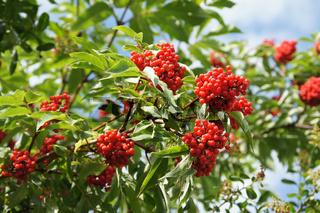 Sambucus racemosus, Traubenholunder, Red Elder