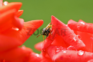 Gemeine Wespe (Vespula vulgaris) auf einer roten Rose, Common wasp  on red rose