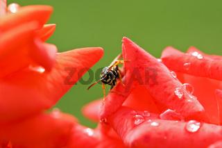 Gemeine Wespe (Vespula vulgaris) auf einer roten Rose, Common wasp  on red rose