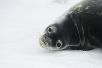 portrait of Weddell seals turning his head back