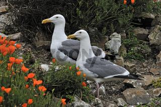 Westmoeve, Larus occidentalis, Paar, Alcatraz Island, Kalifornie
