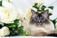 SACRED CAT OF BIRMA, BIRMAN CAT, SEAL-TABBY-POINT, ADULT,