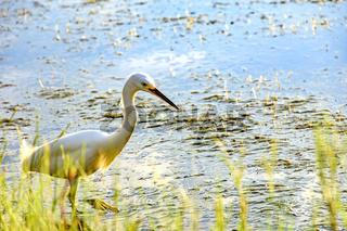 Young white heron walking on water