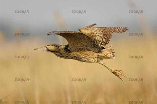 flying over reeds... Eurasian Bittern *Botaurus stellaris*