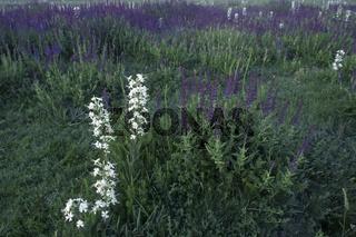 Steppen-Salbei, Klebriges Leimkraut, Salvia nemorosa, Silene viscosa, Woodland Sage, White Sticky Catchfly