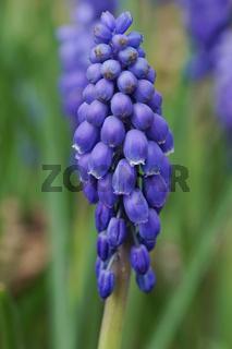 Traubenhyazinthe, Blumen des Frühlings