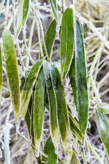 ice frost on bamboo leaves