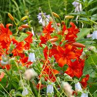 Lilium davidii Elwes