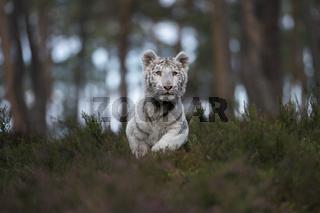 blau-grüne Augen... Königstiger *Panthera tigris*