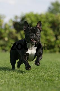 rennende französische Bulldogge